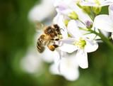 Honey bee Apis mellifera collecting pollen in a cuckooflower - 222071523