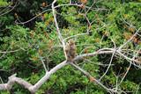 The Lankan monkey around Pidurangala Rock, near Sigiriya - 222074519