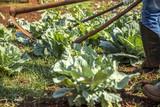 weeding garden crop vegetable
