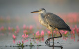 Grey heron (Ardea cinerea) - 222086104