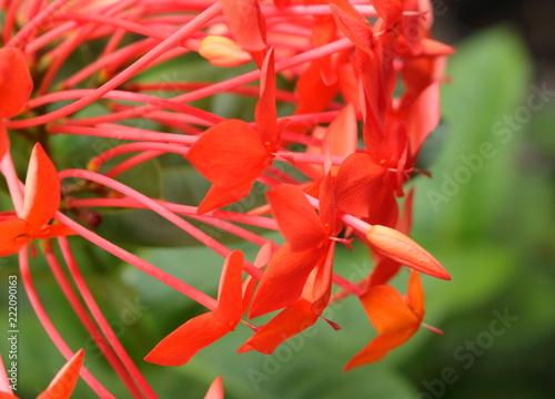 Sticker closeup photo of orange spike flowers or ixora