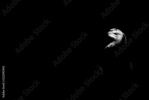 eagle isolated on black background - 222092942