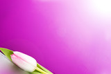 pink tulip on a lilac background, copy space - 222093379