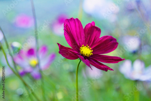 multicolored bright flower of the cosmos sunlit - 222095386