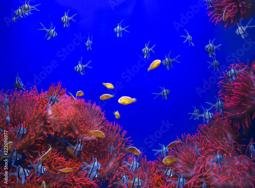 Leinwandbild Motiv Red sea anemone in a dark blue water and colorful fish of aquarium. Marine Life background.