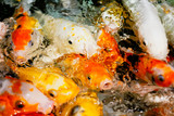 Multicolored fish carp on the water surface - 222097536