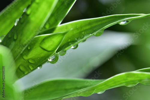 In the botanical garden, after rain, there is a drop of water on the green leaf. - 222108338