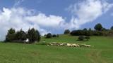 Sheep - 222109731