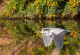 gray heron flying over a river close up - 222116389