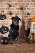 Black dog in witch costume