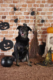 Black dog in witch costume - 222119718