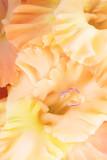 Background of pale orange Gladiolus flowers, macro, close up