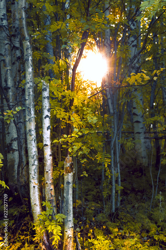 Trunks of birches in the sunlight in the forest