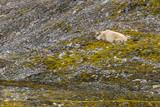 Male polar bear on Svalbard - 222128749