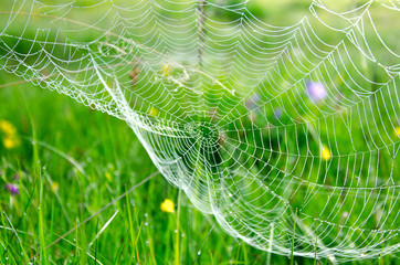 A web with dew drops early in the morning against the background of grass.