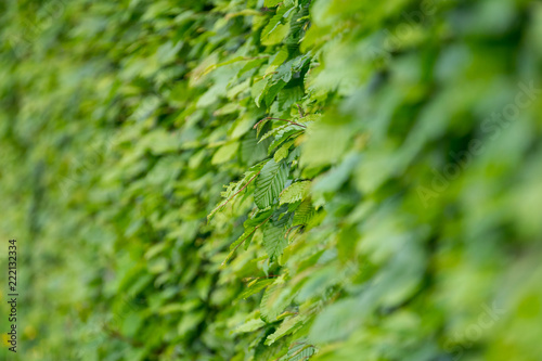 Hedge. Green leaves close-up. Shallow depth of field. - 222132334
