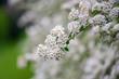 Spring flowering of the decorative bush Reeve's spiraea (Spiraea cantoniensis)