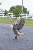 Geese in the garden - 222135147