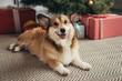cute welsh corgi dog lying under christmas tree with presents