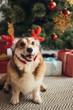 funny welsh corgi dog in deer horns near christmas tree