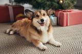 cute welsh corgi dog lying under christmas tree with presents - 222135942