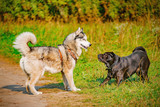 Male and female dogs play with each other. - 222136194