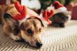 welsh corgi dog in deer horns and cat in santa hat on christmas