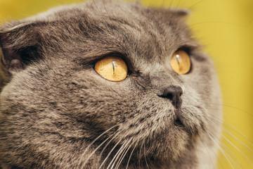 close up of grey scottish fold cat at home