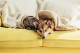 scottish fold cat and welsh corgi dog lying under blanket together on sofa - 222138304