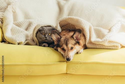 Foto Murales scottish fold cat and welsh corgi dog lying under blanket together on sofa