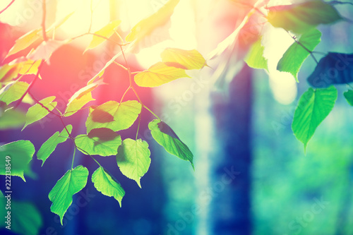 Fototapeta Birch branches with green leaves, natural spring background with sunlight. Selective focus