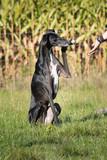 schwarzer Windhund gibt Pfote