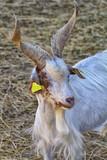 chèvre girgentana - 222144573