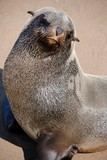 Seals on the beach on Namibia coast - 222151351