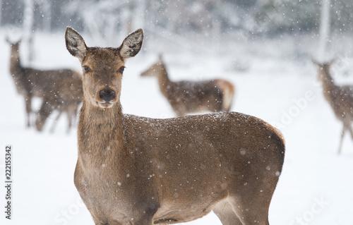 Fototapeta Rehe vor verschneitem, winterlichen Wald