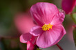 Close-up of pink Begonia L. flower in bloom