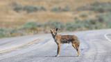 Coyote staring at the camera
