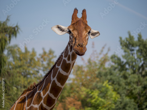 Fototapeta Giraffe is eating