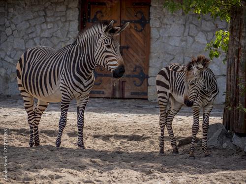 Fototapeta Close view of zebras family