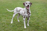 Cute dalmatian puppy is standing in a green grass. Pet animals.