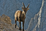 Wild european alpine ibex in nature environment - 222194150