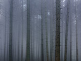 Dense Fog in the Forest. Foggy Morning in the Pine Forest. - 222196501