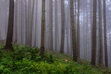 Dense Fog in the Forest. Foggy Morning in the Pine Forest. - 222196743