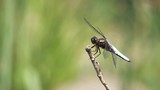 Plattbauch Libelle in Zeitlupe im Anflug und Abflug auf einen Ast - 222200372