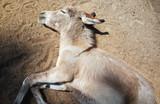 Esel ausruhen von Hitze Sonne