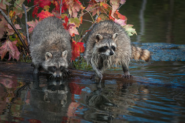 Pair of Raccoons (Procyon lotor) Turn on Log