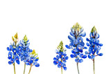 watercolor bluebonnets wildflowers - 222212972