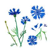 Floral set of field blue cornflower flowers, vector Botanical illustration.