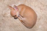 The Chihuahua puppy fell asleep on the shaggy carpet