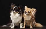 Pomeranian spitz, Chihuahua Dog  Isolated  on Black Background in studio